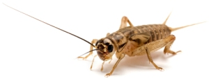 This image shows a brown house cricket